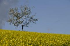 желтый цвет вала поля сурепки Стоковая Фотография RF