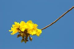 желтый цвет вала цветения Стоковые Фото