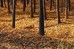 желтый цвет валов листьев ginkgo золотистый Стоковое фото RF