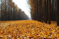 желтый цвет валов листьев ginkgo золотистый Стоковое Фото