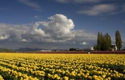 желтый цвет вашингтона тюльпана фермы Стоковые Изображения RF