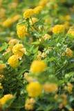 желтый цвет вербены shrub изображения стоковое фото
