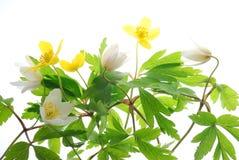 желтый цвет весны ветреницы белый стоковая фотография