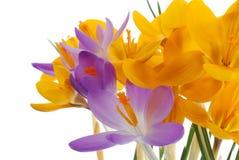 желтый цвет весны крокуса лиловый Стоковая Фотография RF