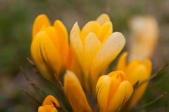 желтый цвет весны крокуса Стоковое Изображение