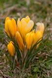 желтый цвет весны крокуса Стоковое фото RF
