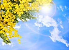 желтый цвет весны лужка одуванчиков предпосылки полный Желтая пушистая мимоза цветет на предпосылке голубого неба Стоковые Фотографии RF