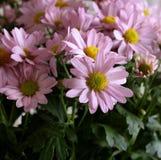 желтый цвет весны лужка одуванчиков предпосылки полный Свежий розовый Leucanthemum космос природы экземпляра предпосылки Стоковые Фото