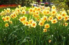 желтый цвет весны парка daffodils Стоковые Изображения