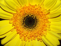 желтый цвет взгляда крупного плана хризантемы Стоковые Фото