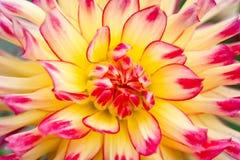 желтый цвет взгляда макроса цветка георгина стоковое фото