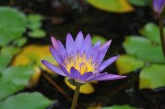 желтый цвет воды лилии пурпуровый Стоковая Фотография RF