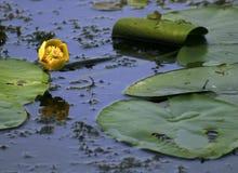желтый цвет воды лилии Стоковое фото RF