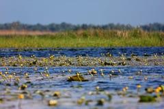желтый цвет воды лилии Стоковые Изображения RF