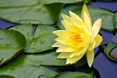 желтый цвет воды лилии стоковые изображения