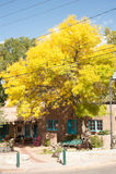 Желтый цвет выходит на дерево на Canyon Road, Санта-Фе, Неш-Мексико Стоковые Фото