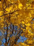 Желтый цвет выходит против голубого неба в осень Стоковое Изображение RF