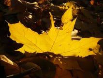 Желтый цвет выходит против голубого неба в осень Стоковые Фото