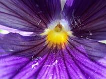 Желтый цвет в пурпуре Стоковые Фото
