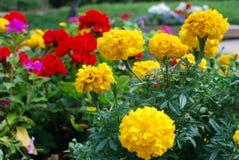 желтый цвет гвоздик Стоковая Фотография