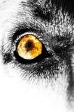 желтый цвет глаза собаки Стоковые Фото