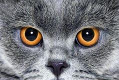 желтый цвет глаз кота Стоковое Изображение RF