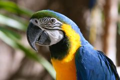 желтый цвет голубого macaw золота тропический стоковое изображение