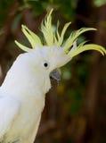 желтый цвет гребеня cockatoo upset белый Стоковая Фотография