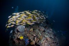 Желтый цвет группы рыб стоковые изображения rf