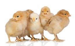 желтый цвет группы цыплят Стоковое Изображение RF