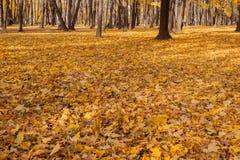 Желтый цвет деревьев осени выходит земля Стоковое Изображение RF