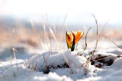 желтый цвет долины snowdrop высокой горы Стоковые Изображения RF