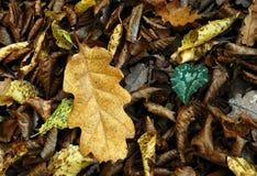 желтый цвет дуба листьев Стоковое Фото