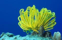 желтый цвет жизни crinoid морской Стоковые Изображения RF
