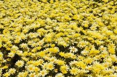 желтый цвет заплаты маргариток Стоковая Фотография RF