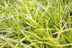 желтый цвет зеленого цвета трав Стоковое Фото