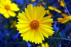 желтый цвет зеленого цвета цветка предпосылки голубой Стоковое фото RF