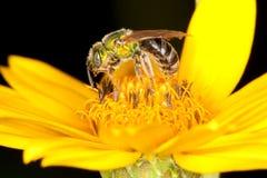 желтый цвет зеленого цвета цветка пчелы Стоковые Фотографии RF