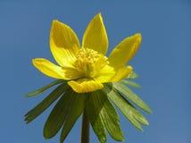 желтый цвет зимы аконита Стоковая Фотография