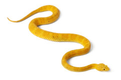 желтый цвет змеенжша schlegelii ресницы bothriechis Стоковые Фото