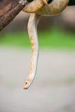 желтый цвет змейки Стоковые Фотографии RF