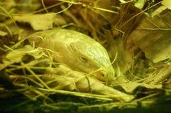 желтый цвет змейки Стоковые Изображения RF
