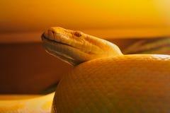 желтый цвет змейки Стоковые Изображения