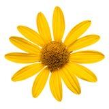 желтый цвет изолированный маргариткой белый Стоковые Фото
