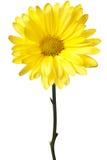 желтый цвет изолированный маргариткой Стоковое Фото