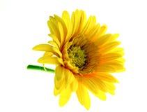 желтый цвет изолированный цветком Стоковое Изображение
