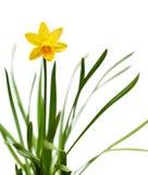желтый цвет изолированный daffodil белый Стоковая Фотография