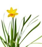 желтый цвет изолированный daffodil белый Стоковое Фото