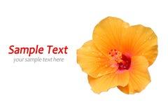 желтый цвет изолированный hibiscus Стоковые Изображения RF