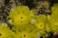 Желтый цвет кактуса и некоторый зеленый цвет Стоковое фото RF